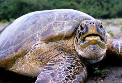 CR green sea turtles
